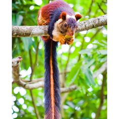 India is home to a colorful and large squirrel species known as the Indian giant squirrel. India is home to a colorful and large squirrel species, Ratufa indica, otherwise known as the Indian giant squirrel or the Malabar giant squirrel. Unusual Animals, Rare Animals, Cute Baby Animals, Animals And Pets, Funny Animals, Colorful Animals, Wild Animals, Beautiful Creatures, Animals Beautiful