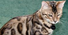 April 14 – Cool Cat Markings   The Animal Rescue Site Blog