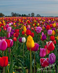 Gary Randall  Flowers This is a tulip field in the Willamette Valley of Oregon