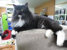 Mittens is a sweet young spayed black and white female. She has a lion cut right now and looks very cute. She is a lover. She loves to be held. She gets along with most cats but probably would enjoy being the only cat in the home.