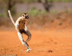 Лемуры на Мадагаскаре танцуют не хуже мультяшных | Информационно-справочный портал Беларуси - interfax.by