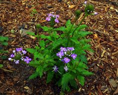 Tampa Mock Vervain (Glandularia tampensis) is native to just a few coastal counties in Florida, but is making a comeback in the commercial trade. Look for it for sale in the winter months - it dies back once hotter temperatures kick in.