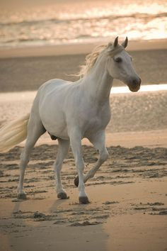 White Stallion on the Beach - Horse