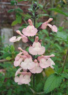Salvia x jamensis 'Pleasant Pink'