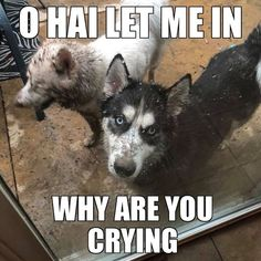 Wonderful All About The Siberian Husky Ideas. Prodigious All About The Siberian Husky Ideas. Siberian Husky Facts, Siberian Husky Puppies, Husky Mix, Husky Puppy, Siberian Huskies, Funny Husky Meme, Dog Quotes Funny, Funny Dogs, Husky Humor