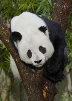 ~~Gao Gao by Smithsonian's National Zoo~~ Visited the national zoo, saw the pandas. Check
