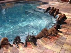 Swimming class I want ALLLLLLLL of them, at once, forget 101 dalmations, I want 75 Chocolate Labs!