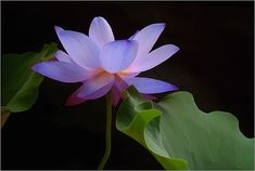 The blue lotus flower is said to symbolize purity of wisdom.