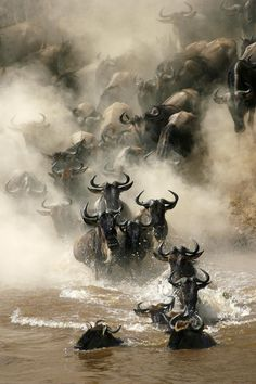 Wildebeest crossing the Mara River during their annual migration.