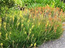 Swap some lawn for these drought-tolerant clumping plants — and watch your maintenance efforts diminish while they easily grow