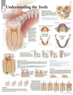 Understanding the Teeth anatomy poster of tooth development from deciduous dentition through adulthood with complications along the way.