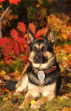 Argo is a German Shepherd serving Delaware County, Ohio. - policemag.com - POLICE Magazine