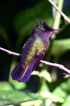 Antillean Crested Hummingbird. Learn more about Hummers - http://www.the-scoop-on-wild-birds-and-feeders.com/hummingbirds.html
