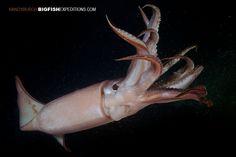 Humboldt Squid.