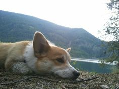 Sir Yorick chilling out in Kootenai National Forest. #corgi