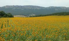 Paisajes de #Navarra... girasoles en el valle de Allín, Tierra Estella