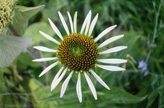 Yellow and White Daisy Photograph, Nature Floral Photography, Nursery Wall Art.