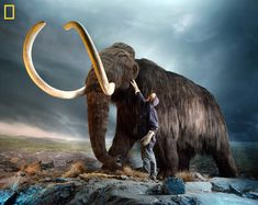 This photo shows a museum worker inspecting a replica of a woolly mammoth (Mammuthus primigenius), a relative of modern elephants that went extinct 3,000 to 10,000 years ago. Scientists in Russia and South Korea have embarked on an ambitious project to try to create a living specimen using the DNA-storing nucleus of a preserved mammoth cell and an Asian elephant egg.