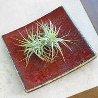 How to Grow Air Plants, they thrive on neglect.