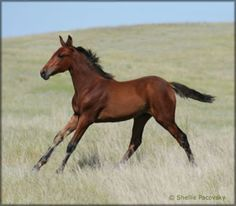 SOLD - SCW LITTLE RASCALS MEDORA #pending - (THE LITTLE RED RASCAL x SC EBONY SILK PERFECTION) Solid bay Tennessee Walking Horse filly. She is eligible for Heritage-certification. Foaled 05/03/2012. Priced at $2000 when weaned. Horse is located in Montana. Overseas transport can be arranged.   http://www.walkerswest.com/Stalls/SCWLittleRascalsMedora.htm