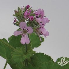 Attar of Rose Sctd Geranium