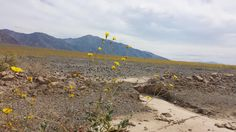 Death Valley Superbloom 2016: A View from the Roadside [4128x2322] (OC)