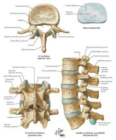 Anatomy of a Lumbar vertebrae Human Skeleton Anatomy, Human Body Anatomy, Human Anatomy And Physiology, Anatomy Study, Anatomy Drawing, Anatomy Art, Anatomy Bones, Skull Anatomy, Ear Anatomy