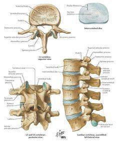 Anatomy of a Lumbar vertebrae