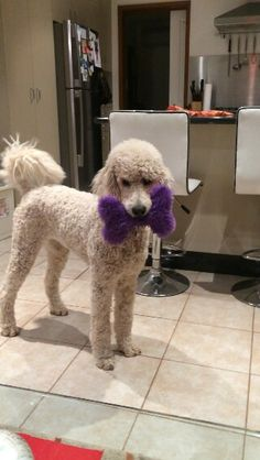 Poodle owners all over the world are coming up with new ways to make their pets beautiful. Take a look the best poodle haircuts for your friend. I Love Dogs, Cute Dogs, French Poodles, Standard Poodles, Poodle Cuts, Poodle Mix, Small Poodle, Poodle Haircut, Puppy Cut