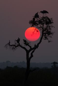 gyclli: Across the Mara from Kenya, the sun rests gently within the branches of an Acacia tree…sunset. Serengeti sunset... /Pamela Wayne-Carter    Across the Mara from Kenya, the sun rests gently within the branches of an Acacia tree…sunset.  Serengeti sunset../ Pamela Wayne-Carter