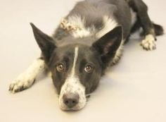 LIZZY is an adoptable Border Collie Dog in Lancaster, OH. HELLO  MY NAME IS LIZZY  MY FAMILY WAS UNABLE TO KEEP ME  THIS IS WHAT MY OWNER TOLD THE DOG SHELTER  I  AM 2 YEAR OLD HOUSE BROKE  GOOD WITH ...