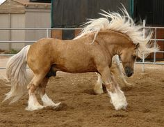 Flash of Gold.  Golden Palomino stallion owned by Desert Jewel Gypsy Horses. Photograph taken by Desert Jewel. www.djwwgypsyhorses.com/ Click here: www.rsranch.com/UpComingStars.htm to see a 2005 palomino daughter of Flash. Her name is Aneira which means 'truly golden' in Gaelic.