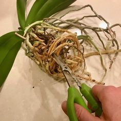 Many people don't realize that repotting orchids is a very necessary thing to do in order for your plant to remain healthy! In this post I show you exactly how to repot an orchid. Moth Orchid, Orchid Plants, Potted Plants, Container Gardening Vegetables, Succulents In Containers, Container Flowers, Container Plants, Vegetable Gardening
