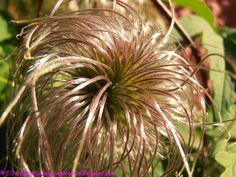 El jardín de la alegría : Aquenios plumosos tras la floración de Clematis ma...