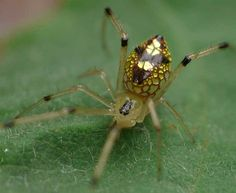 Who says spiders aren\'t pretty? Check out these \'mirror spiders\'