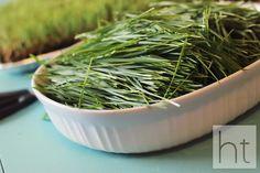 How to Grow Wheatgrass - Homemade Toast