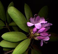 18212 Rhododendron catawbiense 'Roseum Elegans'
