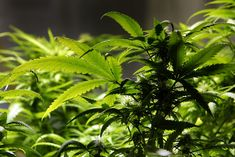 Report from Colorado doctors finds possibility of first death attributed to marijuana