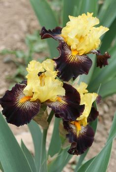 Thread in the Irises forum forum by Snork: Seems like a very loooong wait this year. I checked my garden log books and found that the bloom time for most . Iris Flowers, Types Of Flowers, Spring Flowers, Planting Flowers, Flowers Bunch, Unusual Flowers, Amazing Flowers, My Flower, Beautiful Flowers