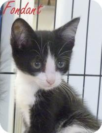 Georgetown, SC - British Shorthair. Meet Fondant a Kitten for Adoption.