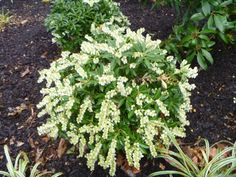 Pieris 'Cavatine'- grows to about ft. high and wide. Landscaping Plants, Garden Plants, Pieris Japonica, Deer Resistant Garden, Trees For Front Yard, Foundation Planting, Sandy Soil, Modern Garden Design, Parts Of A Plant