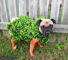 Courtney: Emmy is my 3 year old Pug. I was trying to figure out what to dress Emmy up as for Halloween and I thought Chia pet because her face looks...