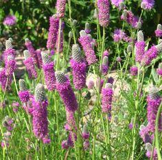 Bibit / Benih Bunga Purple Prairie Clover