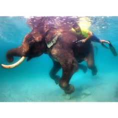 Meet Rajan, the world's only swimming elephant! It was such an unusual, yet incredible feeling to be diving underwater next to an elephant. Who would have ever guessed that an elephant can dive using it's trunk as a snorkel, while enjoying the deep waters of the ocean. Sadly, at the age of 64, Rajan is the last of it's kind and can be found nearby the Andaman Islands, swimming in the great Indian Ocean. F3
