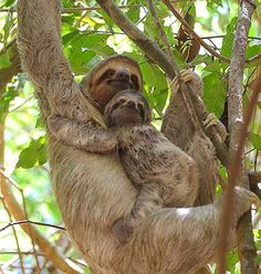 Cute as can be!  The most adorable sloths spottedhellip