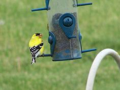 Beautiful little finch. I love to watch them.