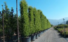 Pleached trees   ... and Growers of Semi-Mature and Mature Trees, Shrubs and Instant Hedge