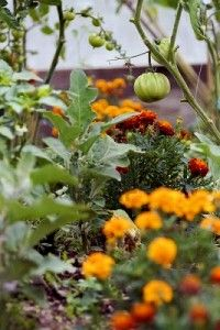 Companion Planting - Perfect gardening post for this time of year and wonderful advice. It really works!