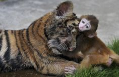 Give us a cuddle: Baby rhesus macaque Taoqi cosies up to a young tiger cub at a zoo in Hefei, China