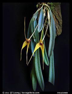 Masdevallia caesae. A species orchid (color)